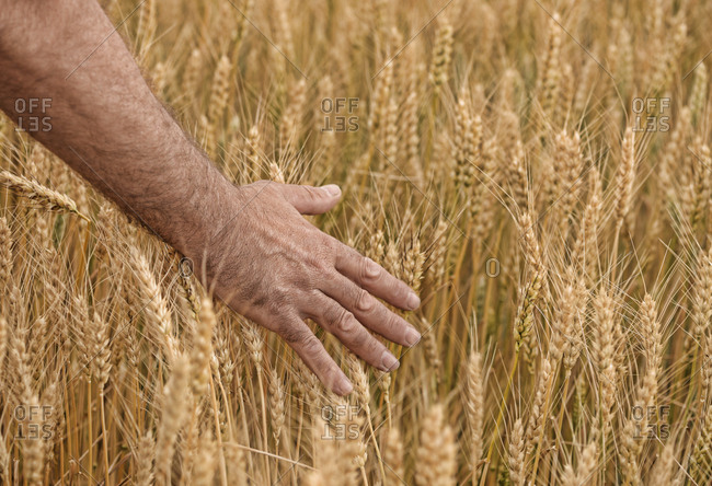 Cropped hand of man touching crops growing on field at farm