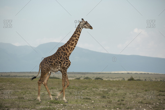 Side view of giraffe walking on grassy field against sky at Maasai Mara National Reserve