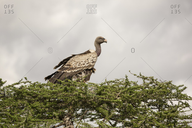 Low angle view of vulture perching on tree against cloudy sky at Maasai Mara National Reserve