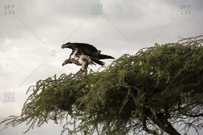 Low angle view of vulture perching on tree against cloudy sky in Maasai Mara National Reserve