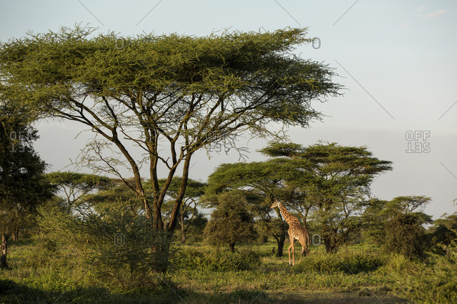 Giraffe standing on grassy field against clear sky at Maasai Mara National Reserve during sunset
