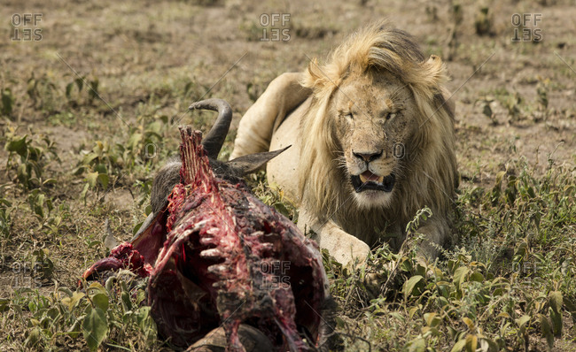 Lion sitting by animal skeleton on field at Maasai Mara National Reserve