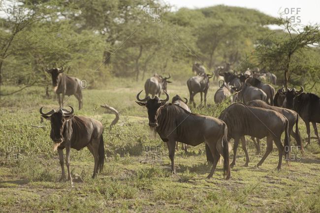 Wildebeests walking on grassy field at Maasai Mara National Reserve during sunny day