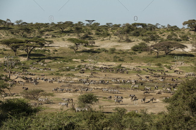 High angle view of wildebeests and zebras on field against clear sky at Maasai Mara National Reserve during sunny day