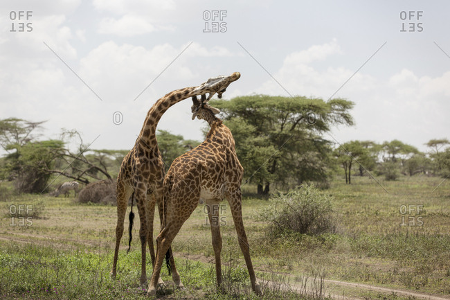 Giraffes standing on grassy field against sky at Maasai Mara National Reserve during sunny day
