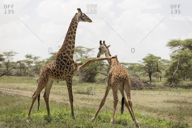 Giraffes fighting on grassy field against sky at Maasai Mara National Reserve during sunny day