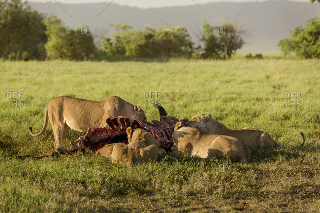 Lioness eating dead animal skeleton while sitting on grassy field at Maasai Mara National Reserve