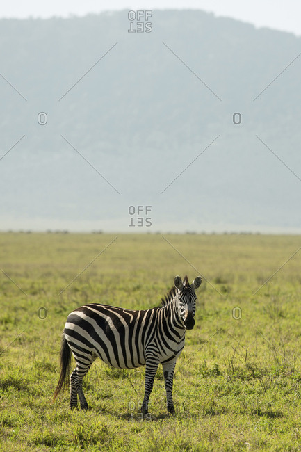 Side view of zebra standing on grassy field against mountain at Maasai Mara National Reserve during sunny day