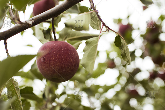 Low angle view of apple growing on tree