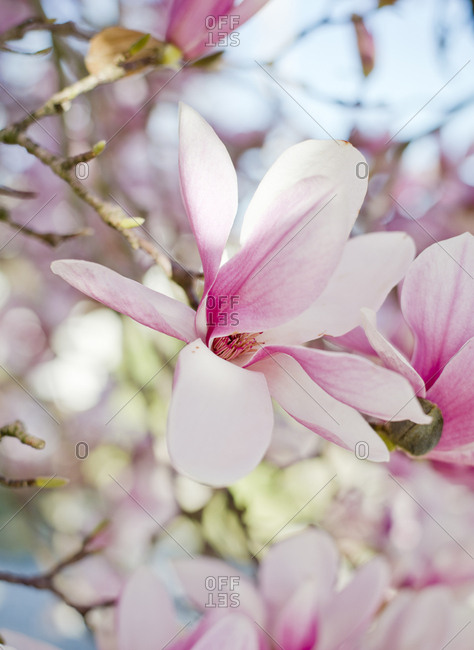 Close-up of magnolia blooming on branch