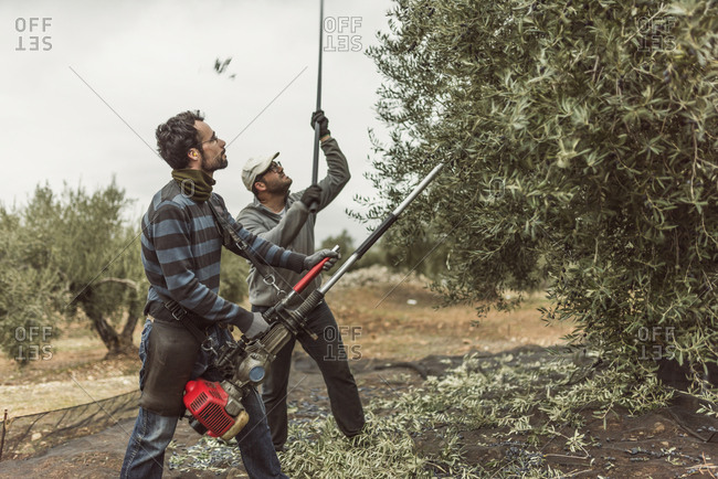 Spain- men using vibrator and stick for olive harvest