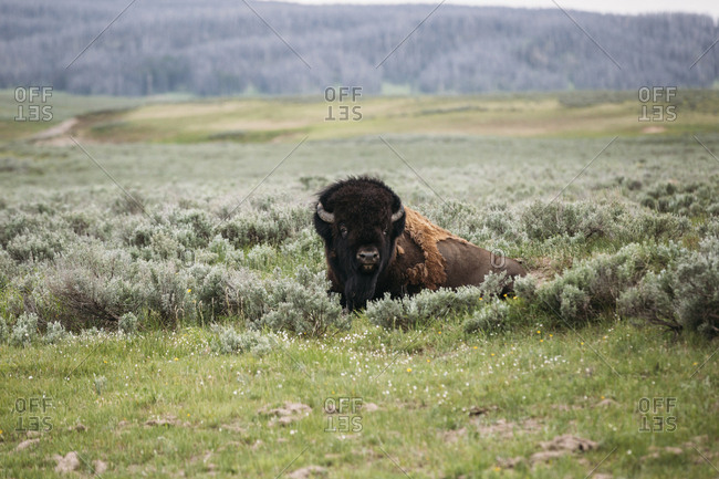 American bison relaxing on grassy field at Yellowstone National Park