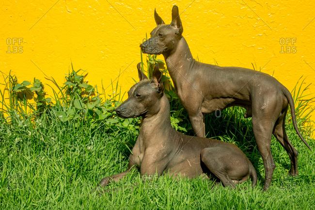 Xoloitzcuintles the national dog of Mexico