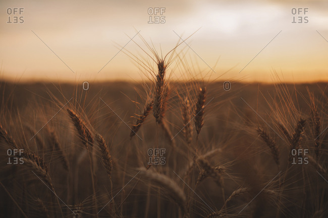 Close-up of wheat growing on organic farm against sky during sunset