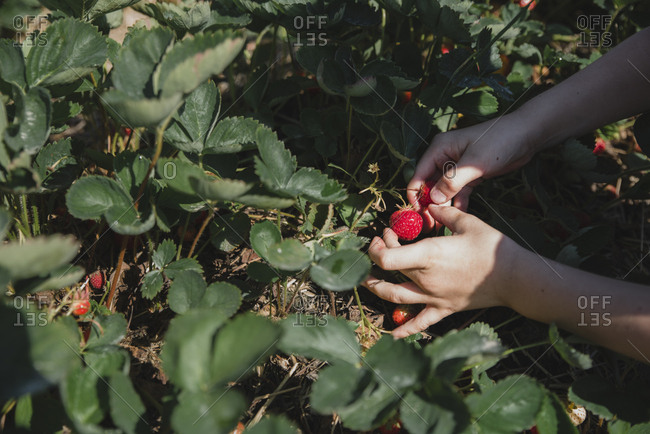 Cropped hands of boy picking strawberries from plants on field