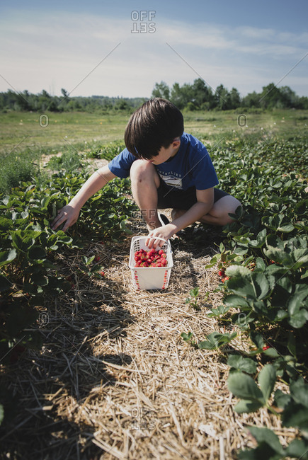 Boy picking strawberries from plants on field during sunny day