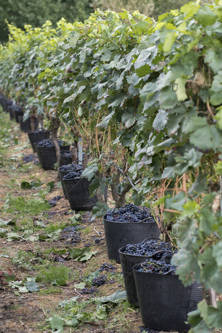 Harvested grapes in harvest baskets