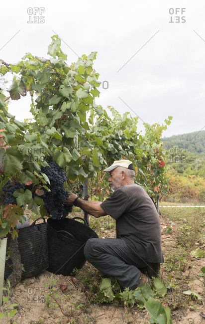 Man harvesting blue grapes in vineyard