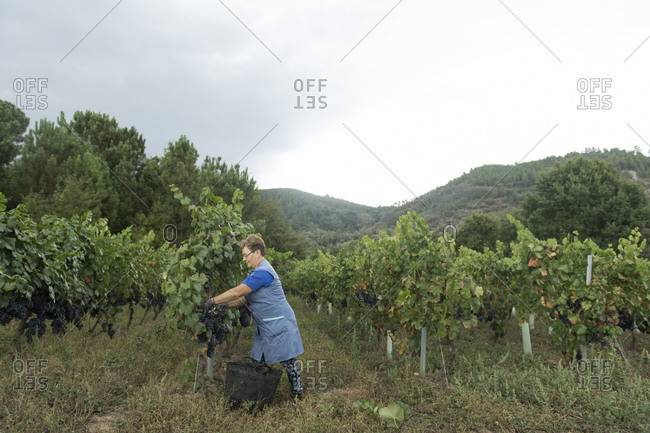 Woman harvesting grapes in a vineyard