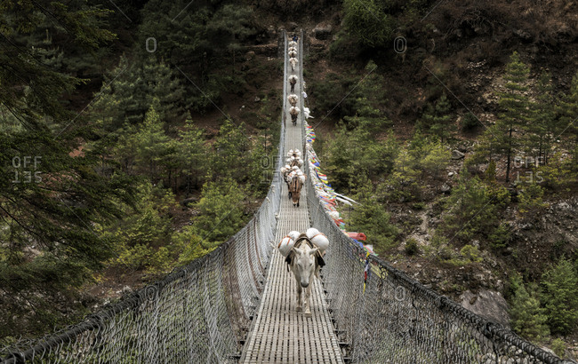 Donkeys carrying provisions on Phakding suspension bridge- Solo Khumbu- Nepal