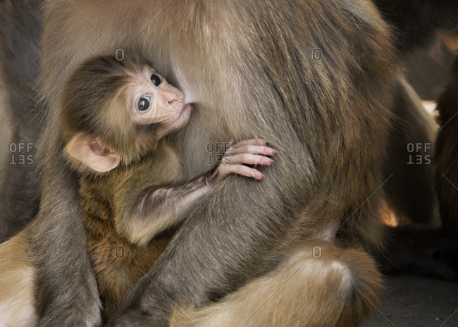 Rhesus maquaque baby suckling from mother breast