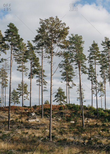Sparse young pine trees growing in the coniferous forest of the taiga