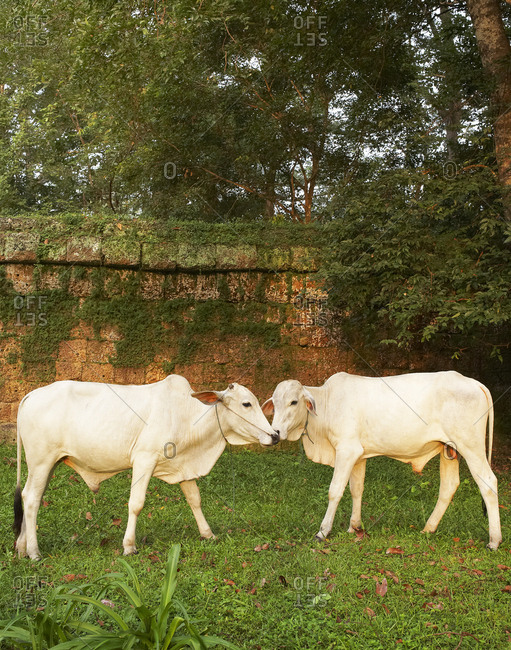 Two white cows standing nose to nose