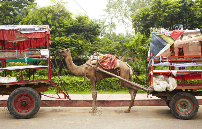 Agra, India - August 28, 2013: Camel taxi on street in Agra