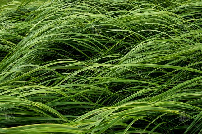 Close up of lush green grass blades.