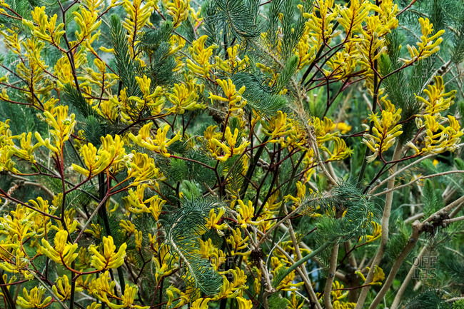 Close up of shrub with small yellow blossoms.