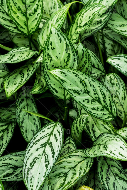High angle close up of lush green leaves streaked with white.
