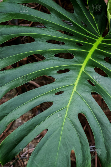 High angle close up of large Delicious Monster plant leaf.
