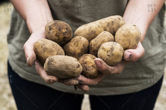 High angle close up person holding potatoes for planting in spring.