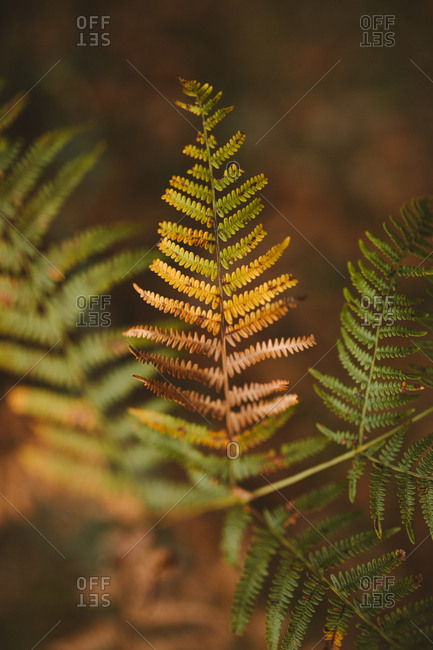 Fern color transition from green to brown