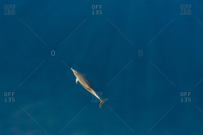 Aerial view of dolphin swimming at Adriatic sea, Croatia.
