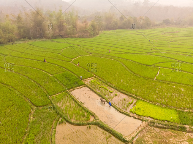Aerial view of Luang Prabang paddy rice fields, Laos.