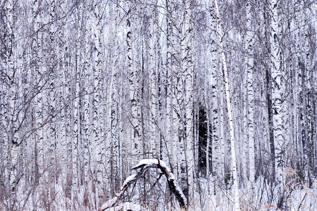 Snow covered on tree trunks in forest