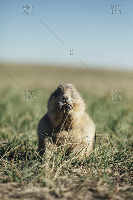 Close-up of prairie dog eating food on grassy field