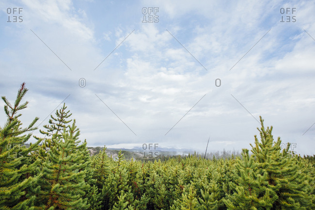 Pine trees growing in forest against cloudy sky