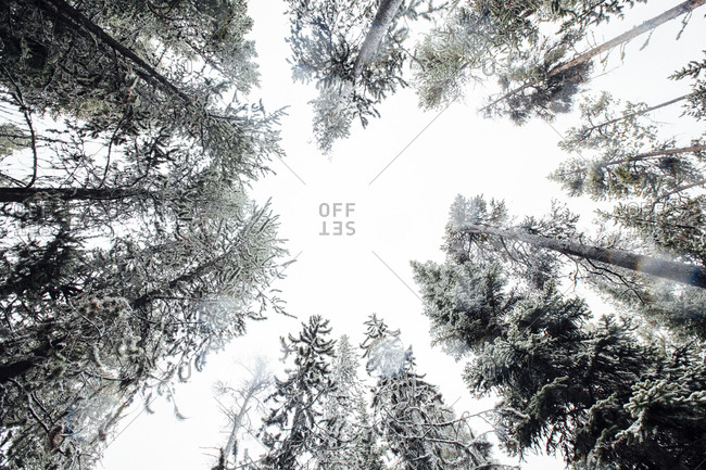 Directly below shot of trees growing at Yellowstone national park