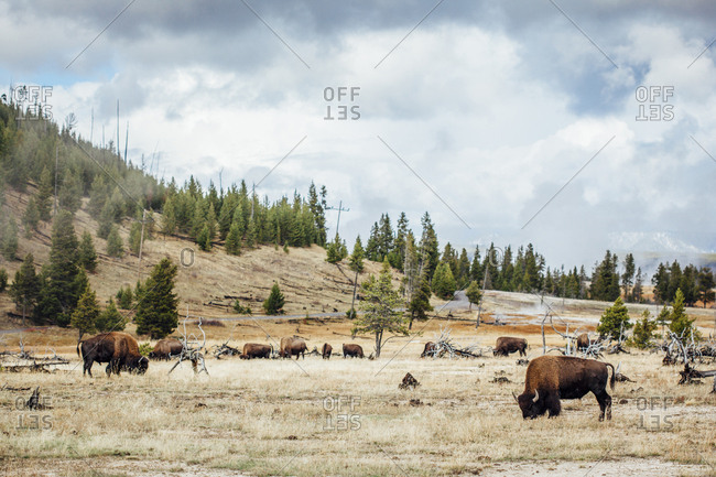 American bison grazing on field against cloudy sky