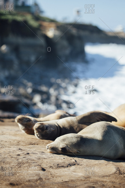 Close-up of Sea lions relaxing at rocks on sunny day