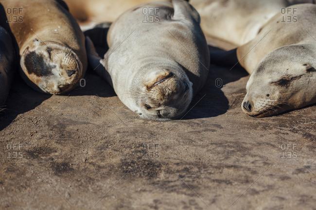Sea lions sleeping on rock