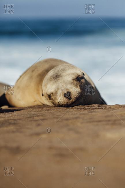 Close-up of Sea lion sleeping on rock