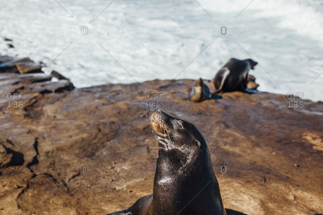 Close-up of Sea lion at rock on sunny day