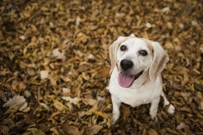 Portrait of Labrador Retriever panting while sitting on field covered with maple leaves