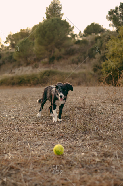 A black and white border collie puppy playing with ball