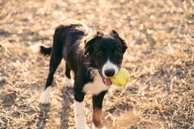 A black and white border collie puppy with ball in its mouth