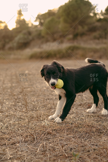 A black and white border collie puppy retrieving a ball