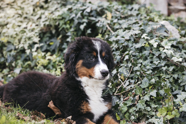 Bernese mountain dog in the garden